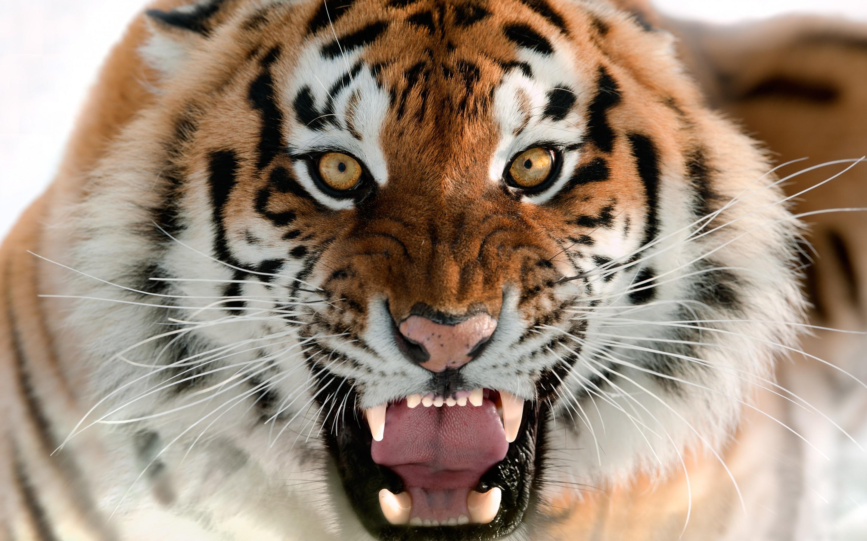 hinh nen ho tiger 2