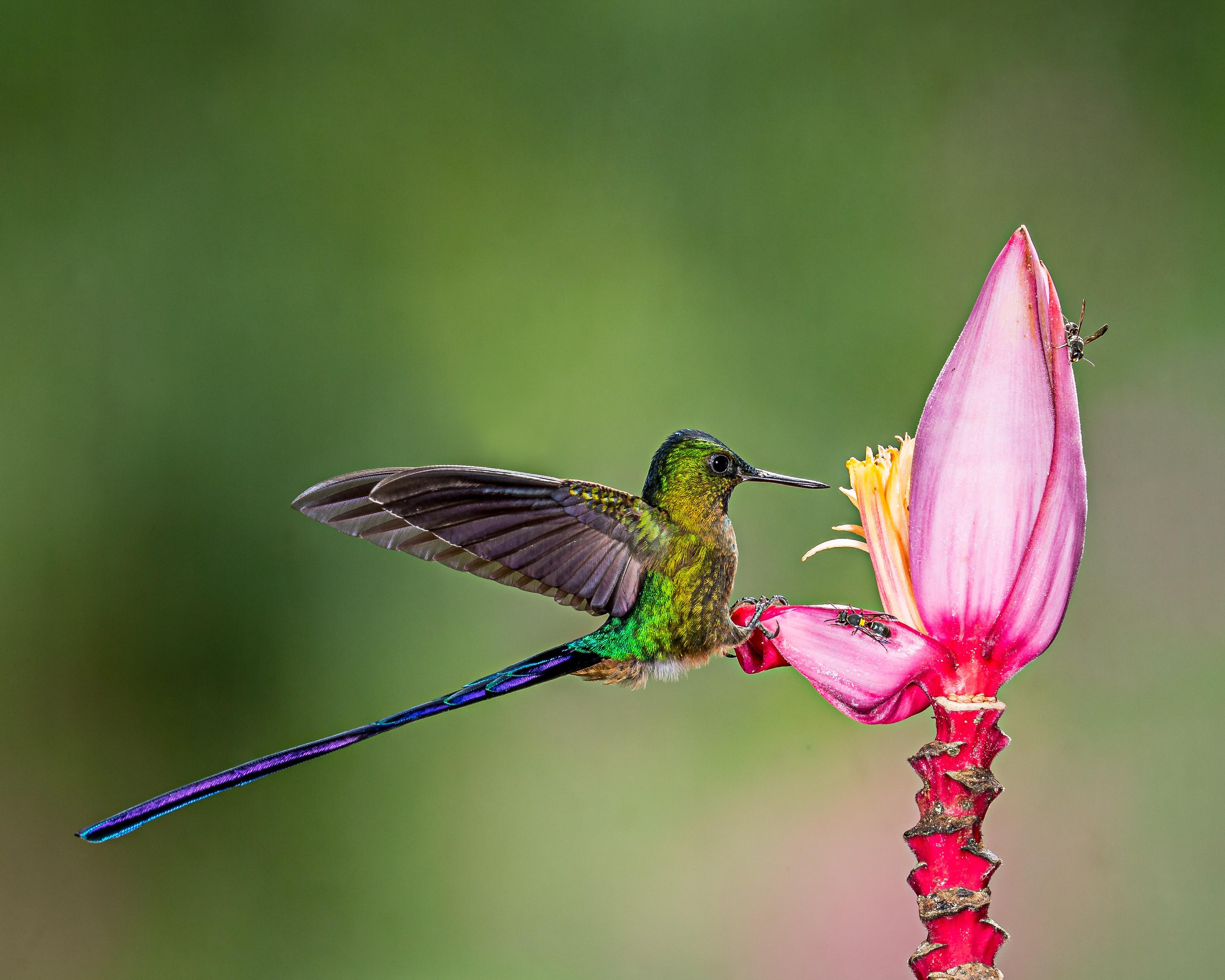 Hình ảnh những chú chim ruồi xanh