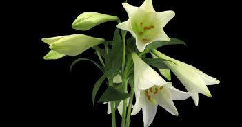 Hình ảnh hoa Bách Hợp đẹp