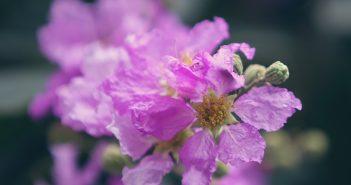 Hình ảnh hoa bằng lăng tím tuyệt đẹp