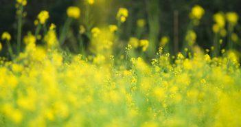Hình ảnh hoa cải vàng óng đẹp
