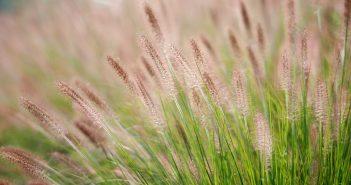 Hình ảnh về hoa cỏ may đẹp