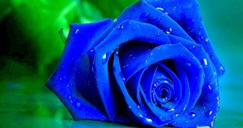 Hình ảnh hoa hồng xanh đẹp lãng mạn
