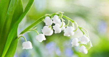 Hình ảnh hoa linh lan đẹp