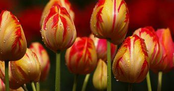 Hình ảnh hoa Tulip