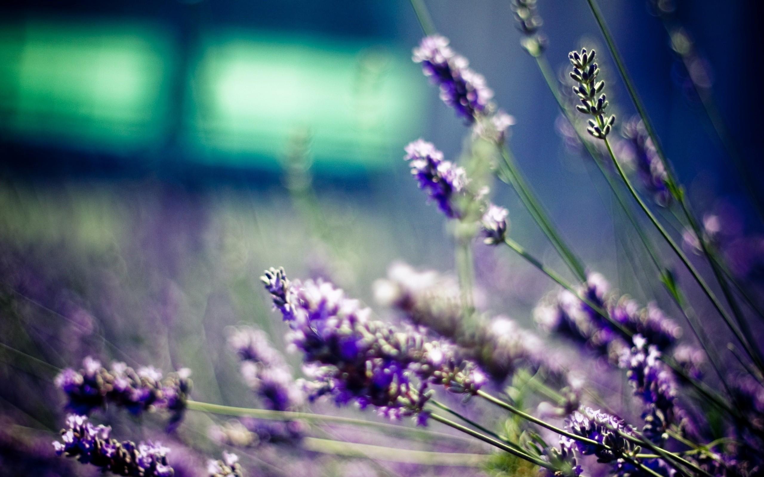 hinh anh lavender 16