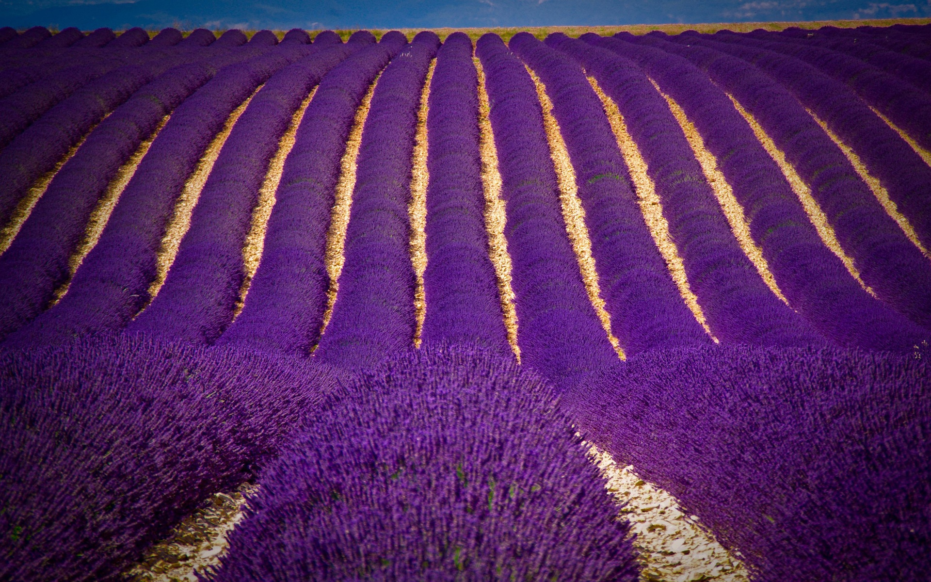 Tải hình ảnh hoa Lavender