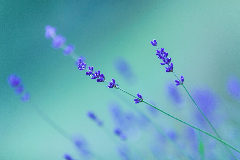 hinh anh lavender 20