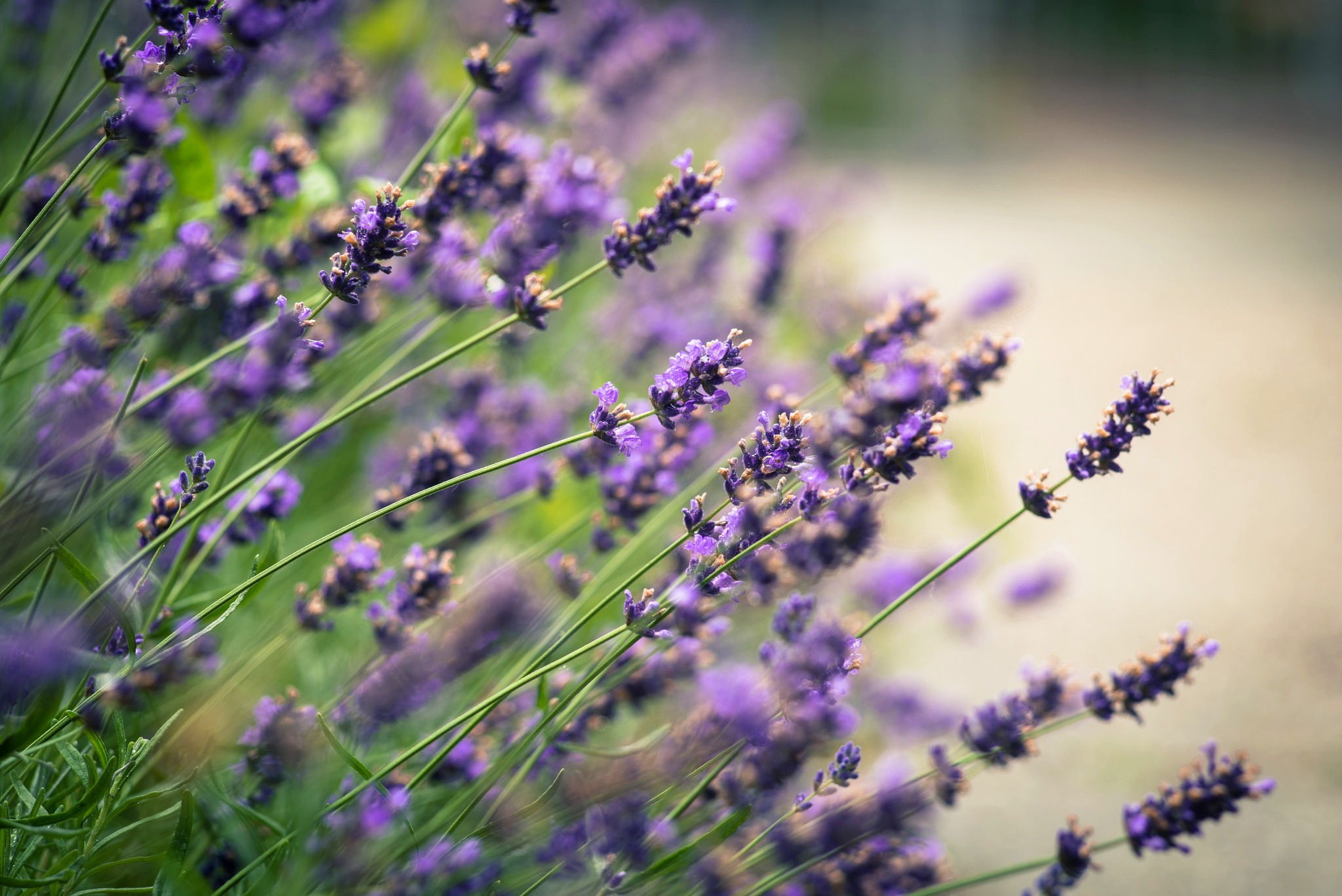 hinh anh lavender 21