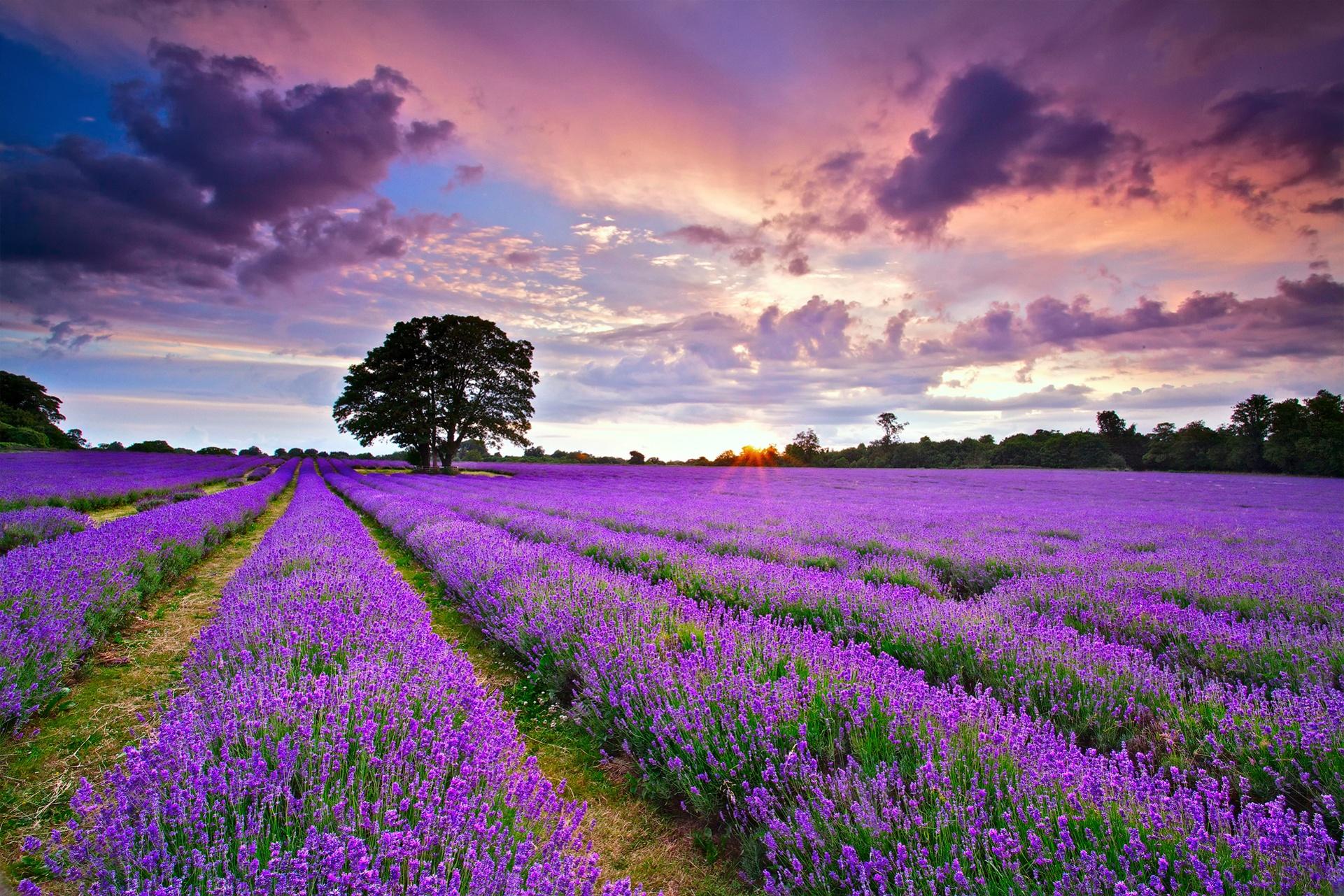 hinh anh lavender 22