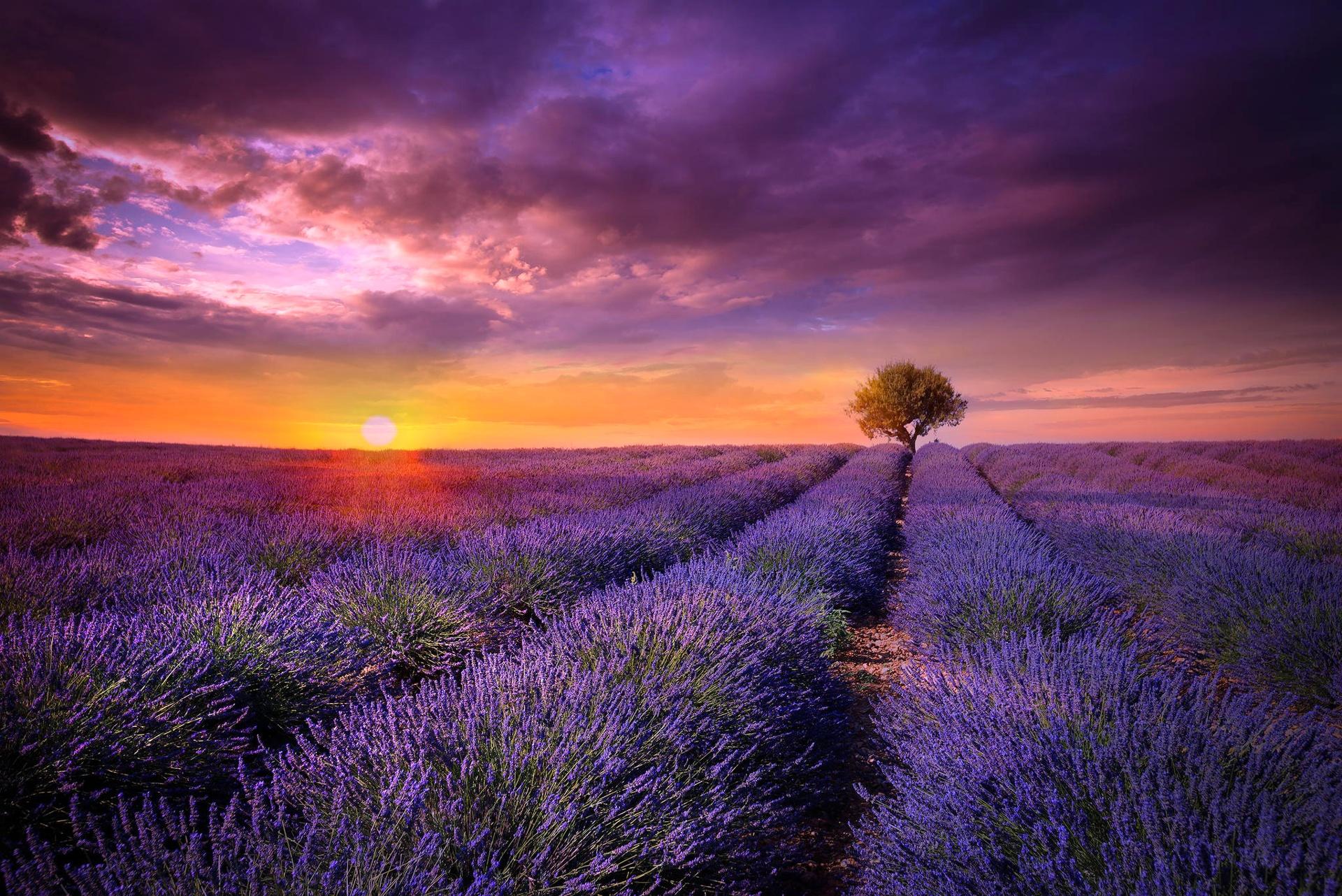 hinh anh lavender 23