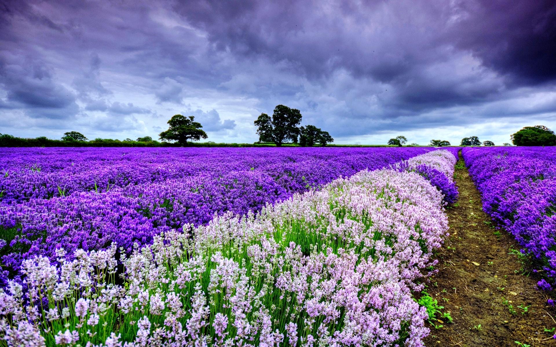 hinh anh lavender 25