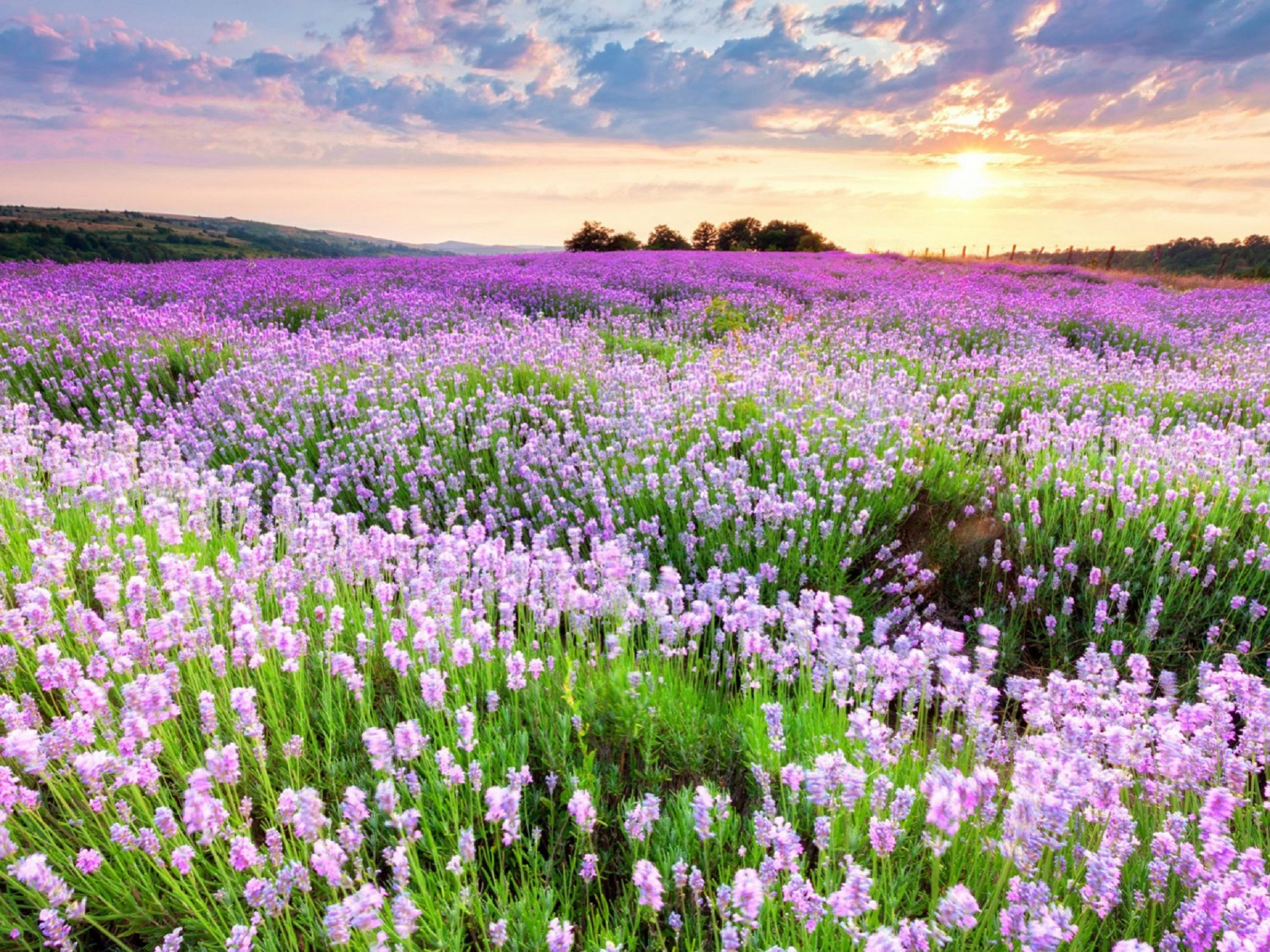 hinh anh lavender 29