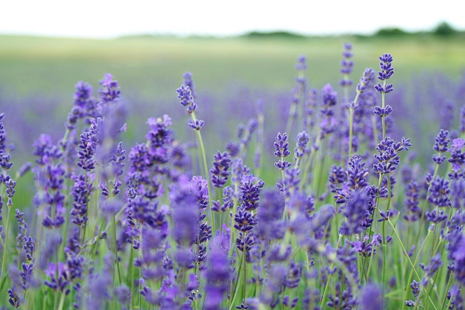 hinh anh lavender 32