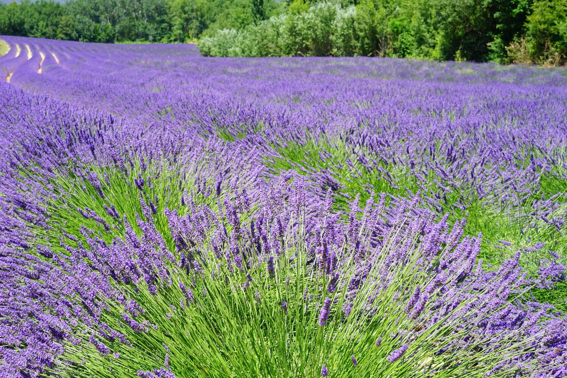 hinh anh lavender 35