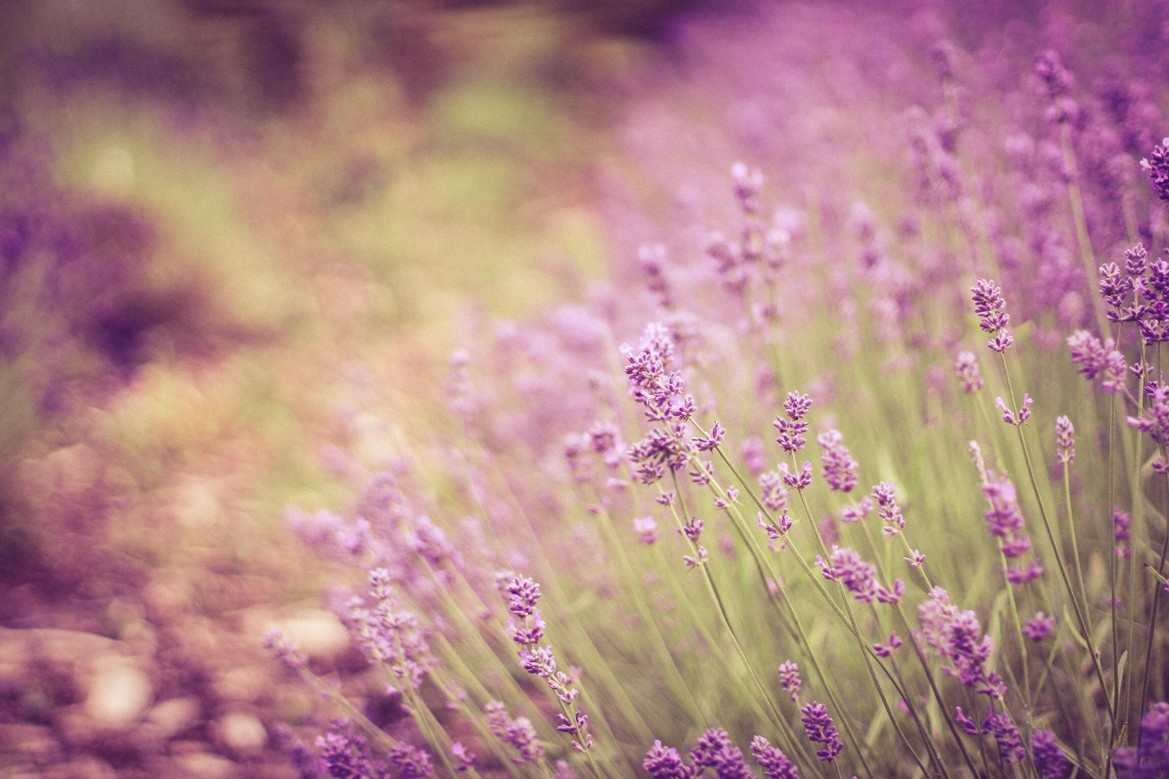 hinh anh lavender 39