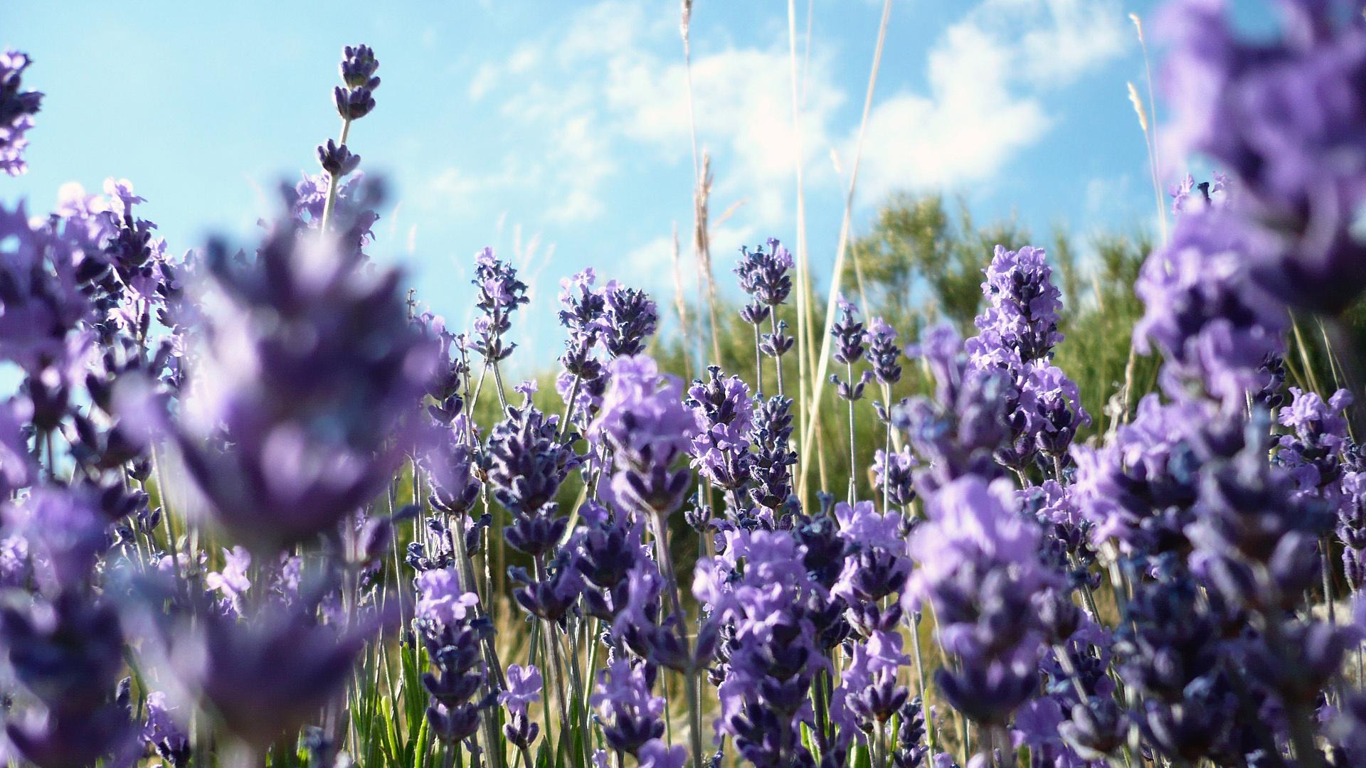 hinh anh lavender 4
