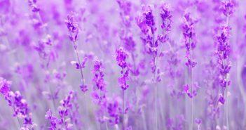 Tải hình nền hoa Lavender về máy tính