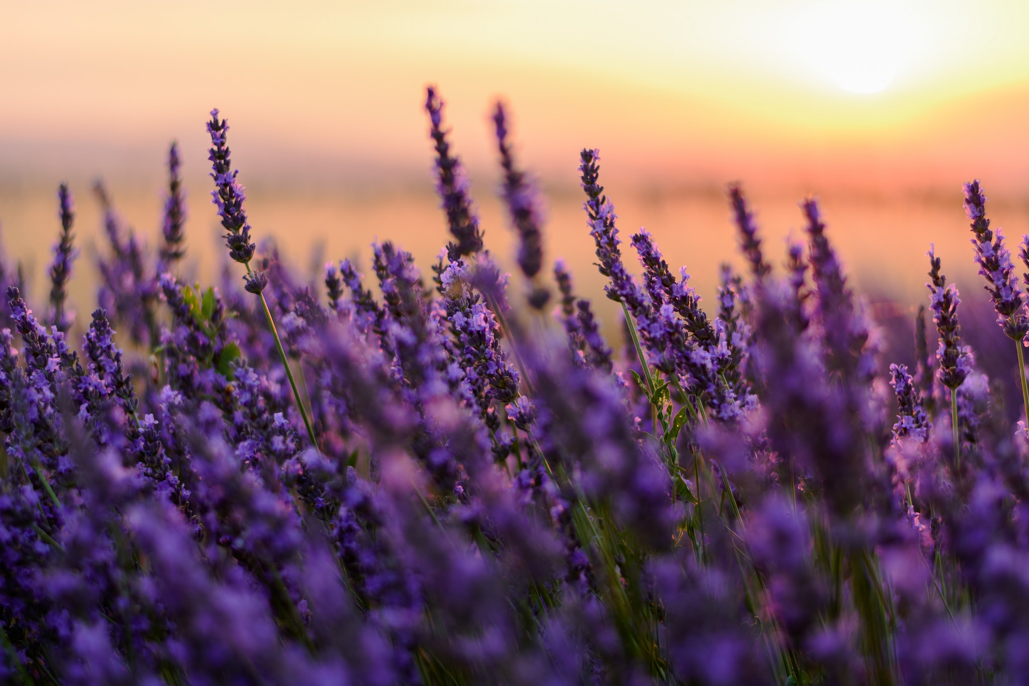 hinh anh lavender 48