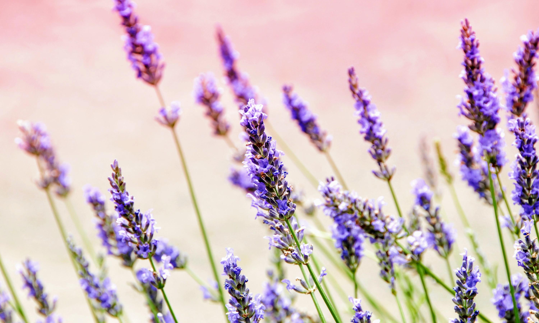 hinh anh lavender 50