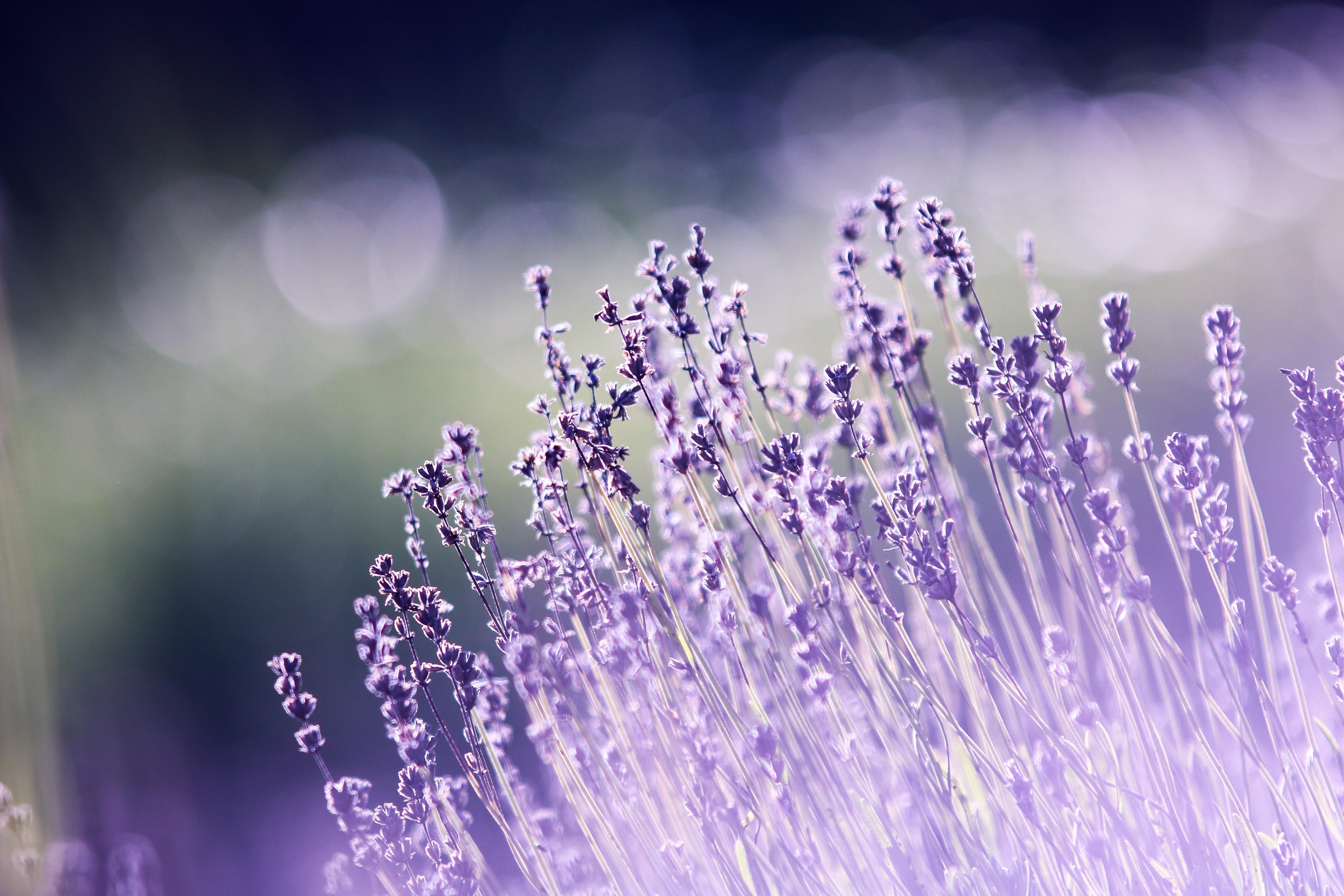 hinh anh lavender 52
