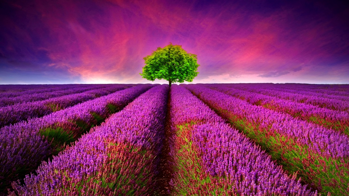 hinh anh lavender 6