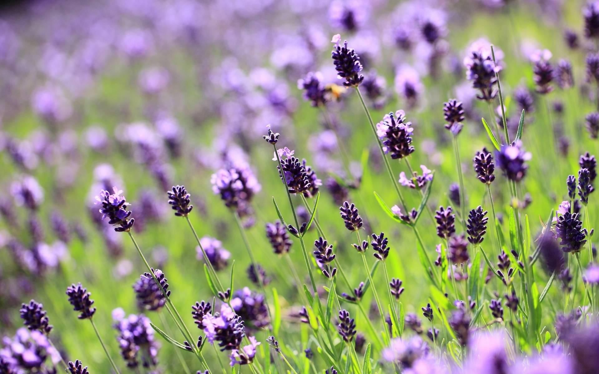 hinh anh lavender 8