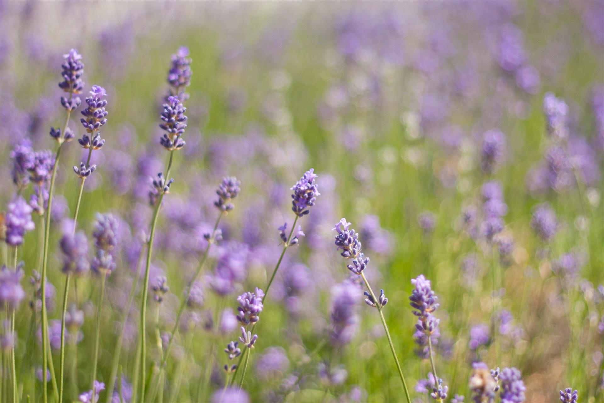 hinh anh lavender 9