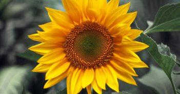 Hình ảnh hoa hướng dương đẹp nhất