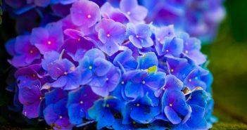 Hình ảnh hoa Cẩm Tú Cầu đẹp nhất
