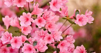 hình ảnh hoa đào ngày tết đẹp nất