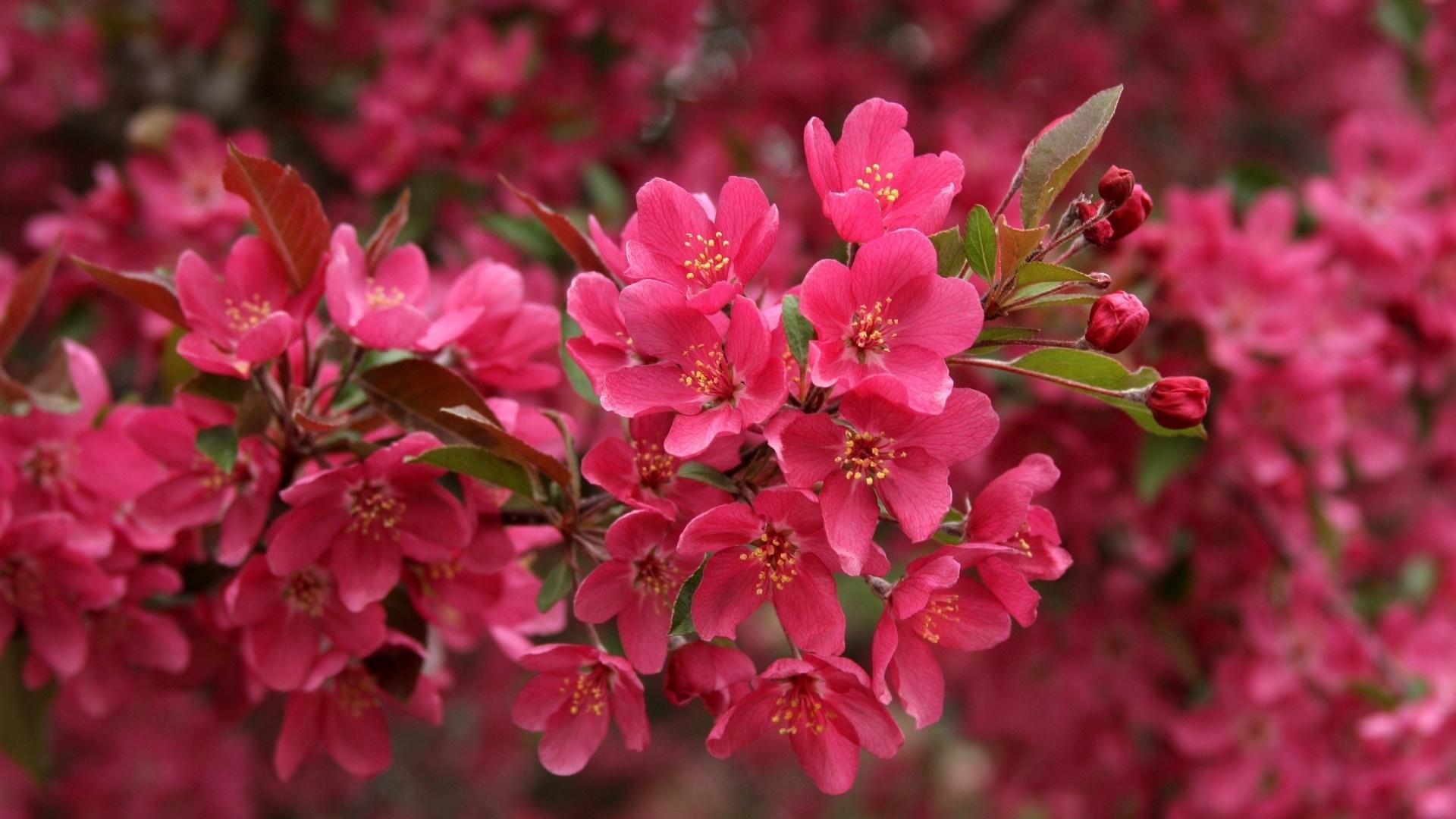 xem ảnh hoa đào đẹp