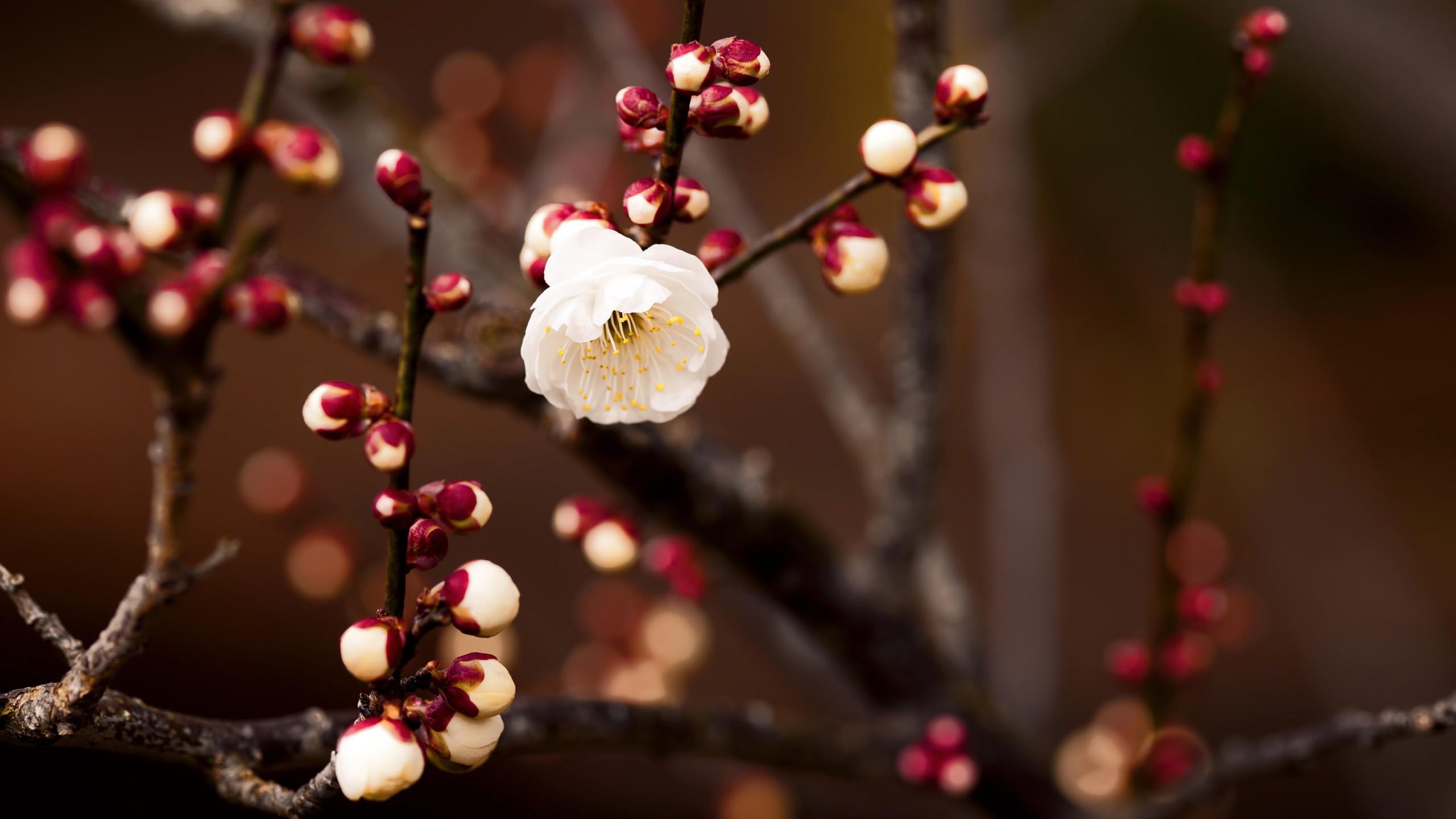 hình hoa đào full hd