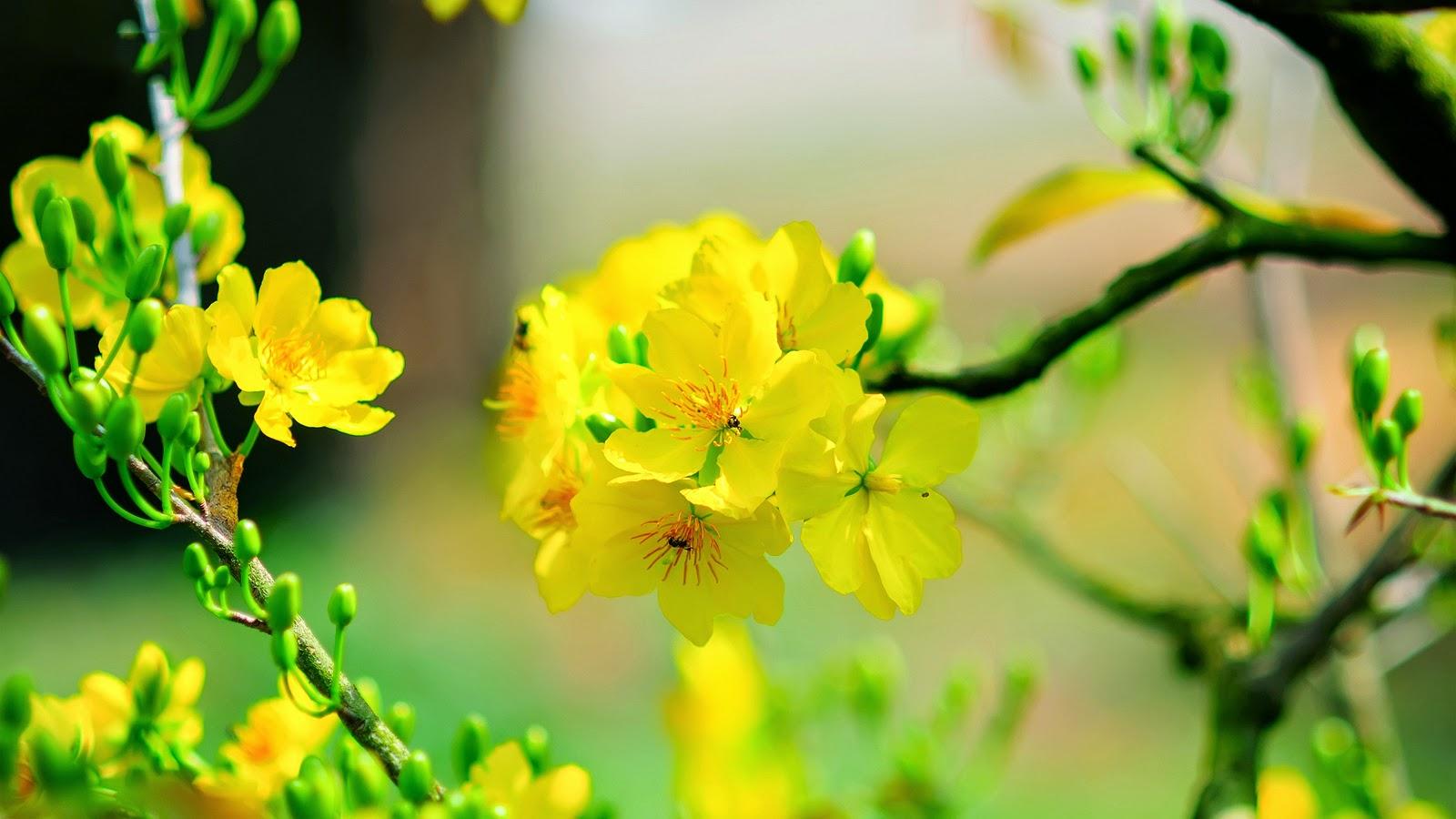 Hình nền hoa mai vàng đẹp nhất cho ngày Tết Canh Tý 2020