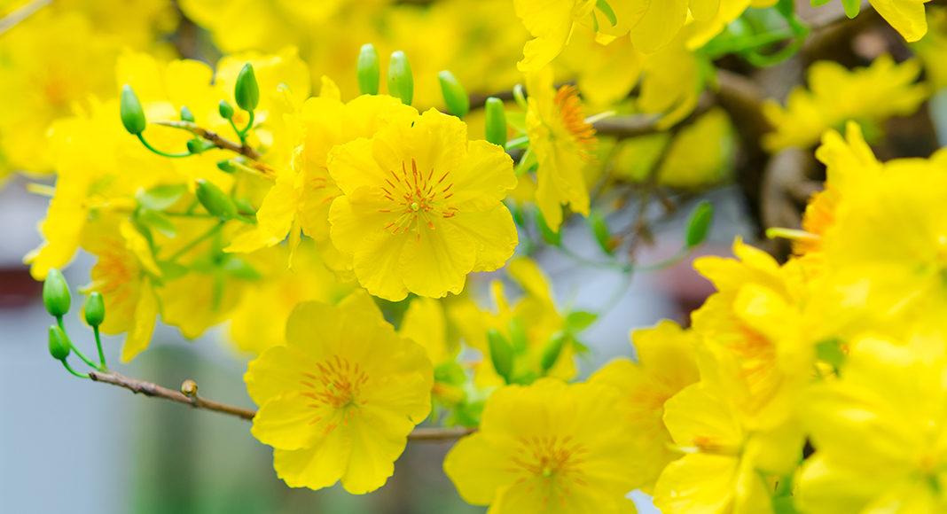 ảnh hoa mai đẹp nhất thế giới