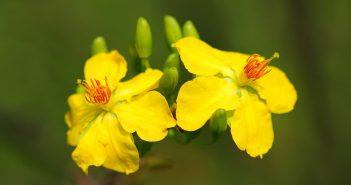 Hình nền hoa mai vàng đẹp