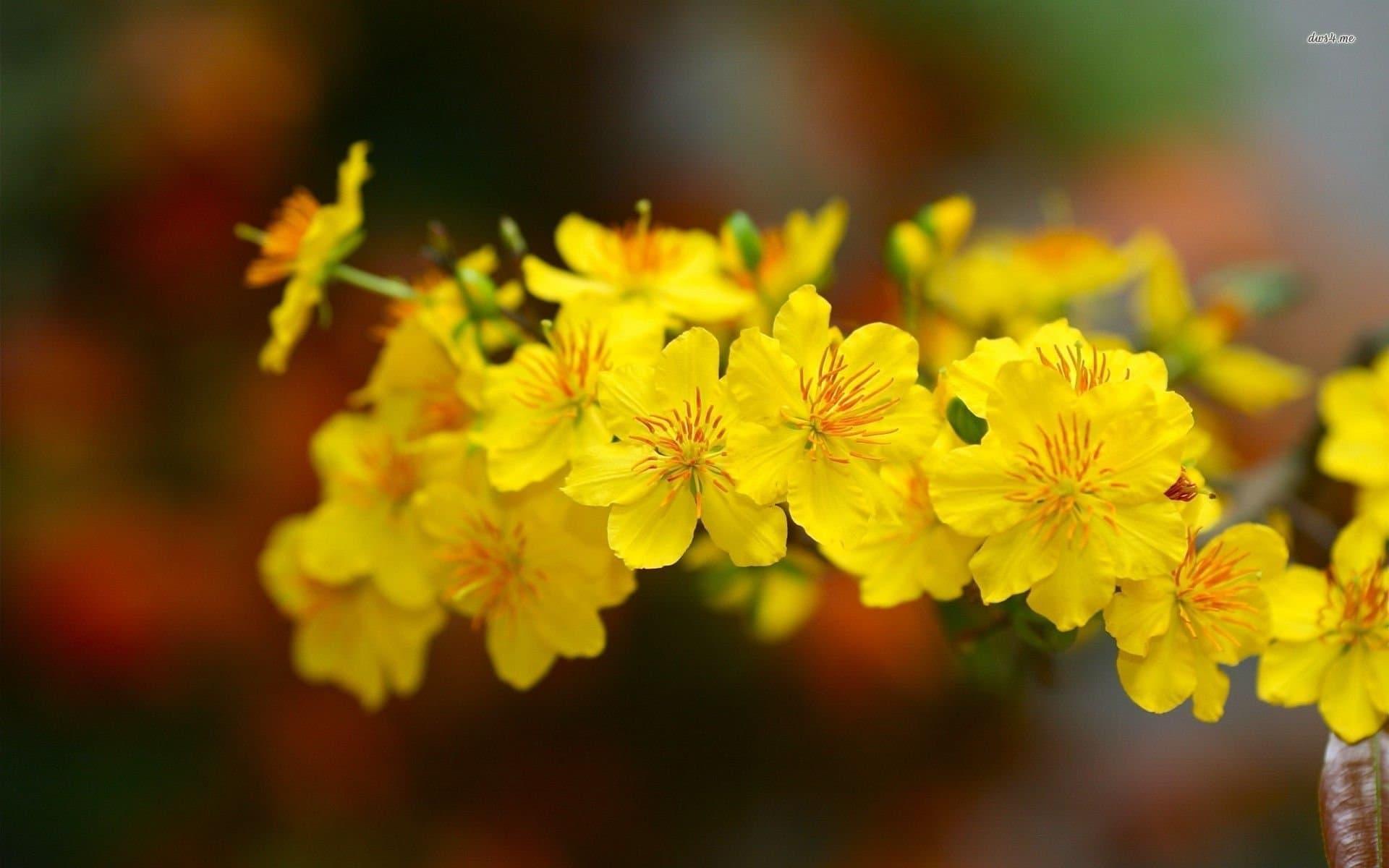 xem ảnh hoa mai đẹp