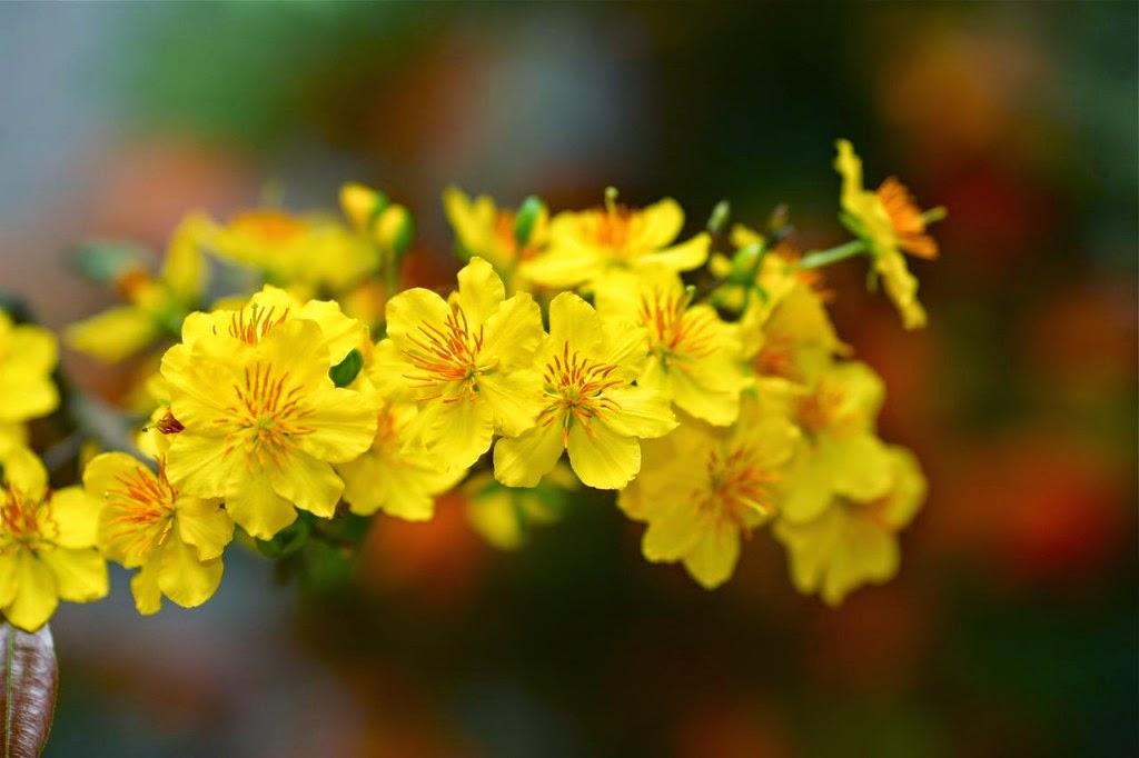 Tết Nguyên Đán - Hoa Mai Vàng Biểu Tượng Cho Mùa Xuân Việt