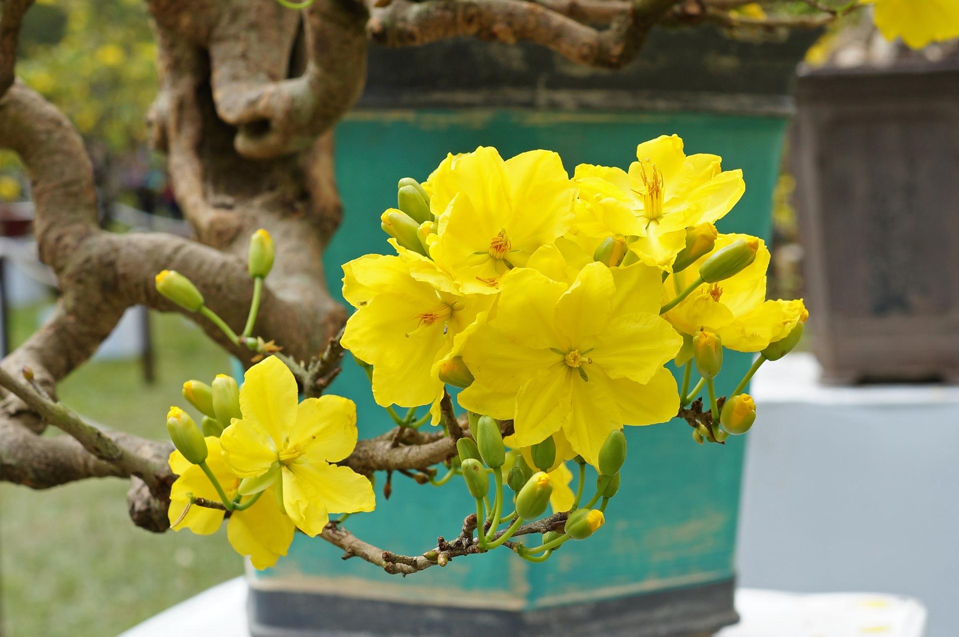 hình nền hoa mai vàng