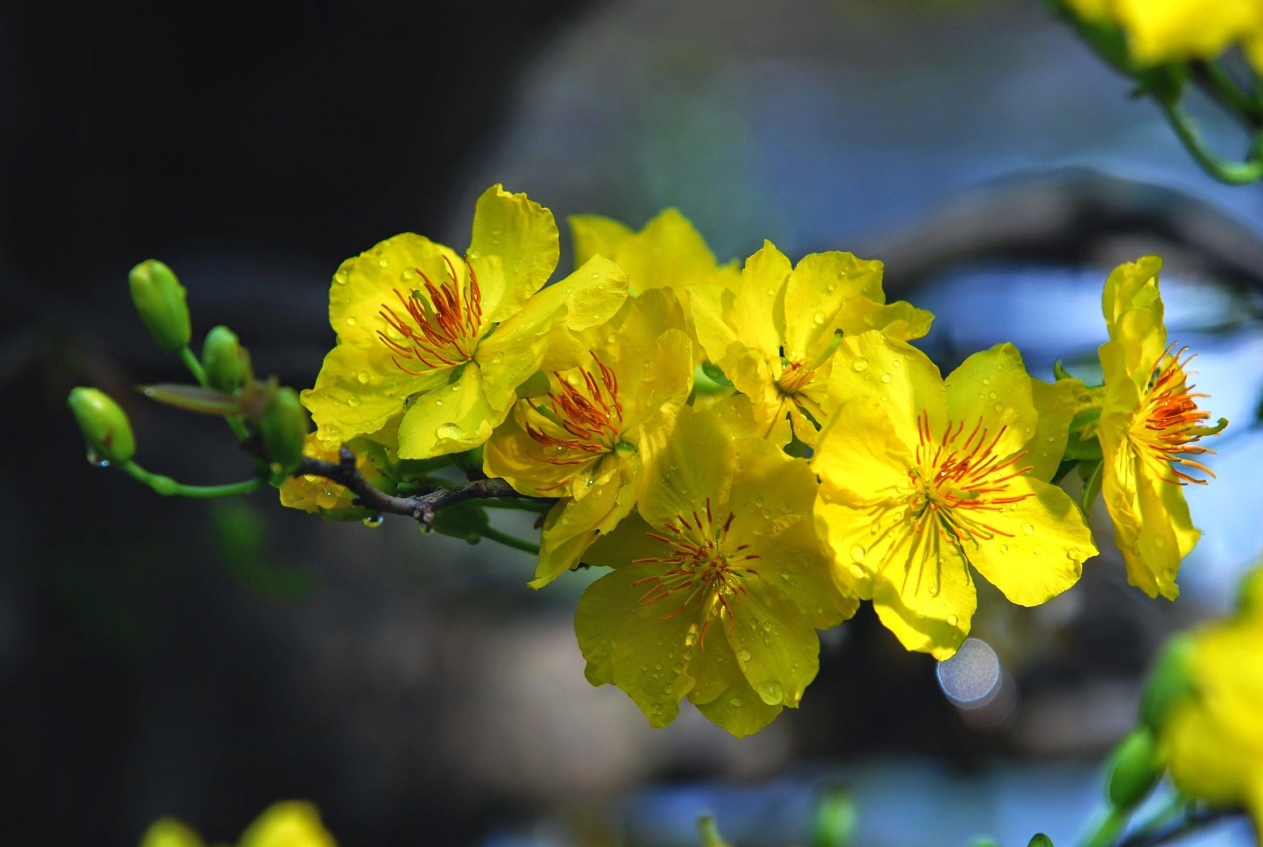hình nền hoa mai full hd