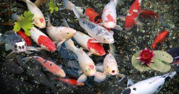 Hình ảnh cá chép đẹp nhất thế giới