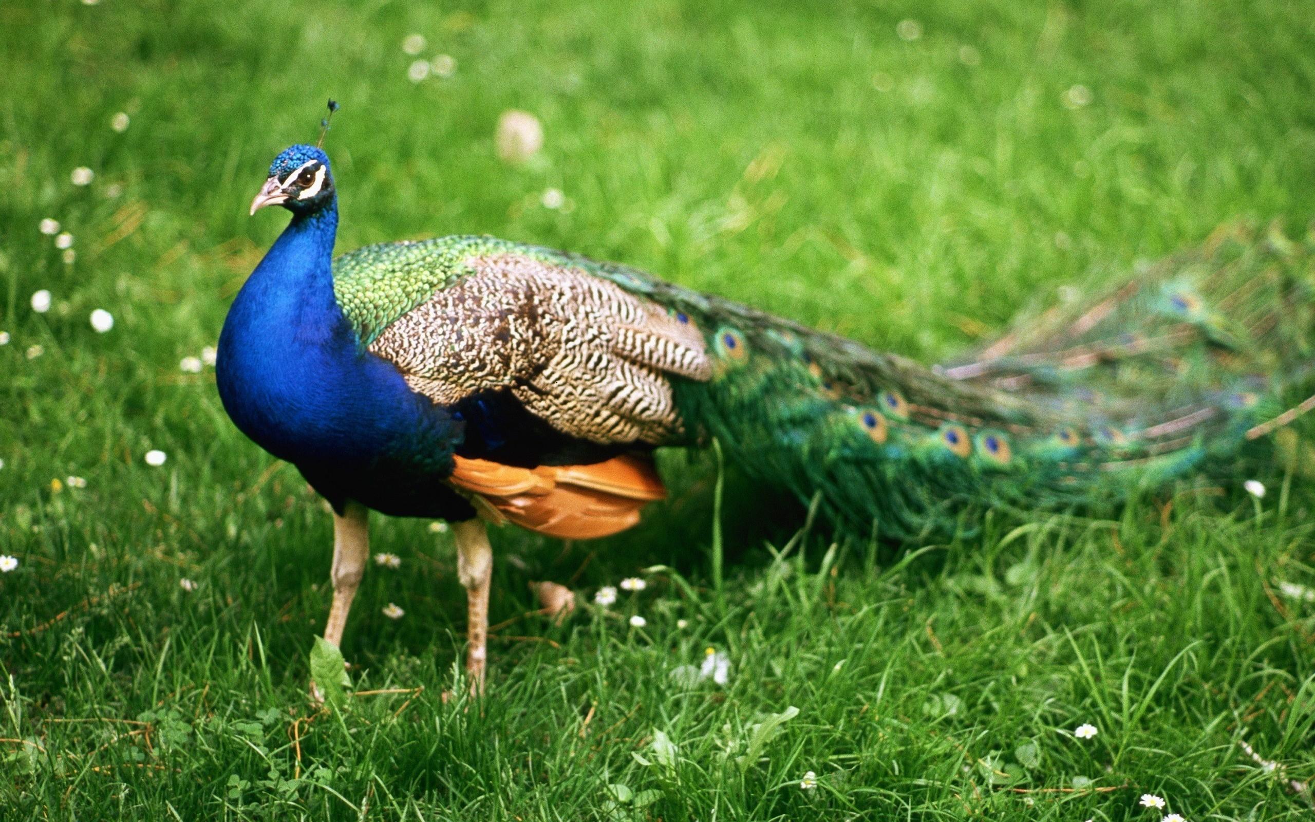 Tải ảnh chim công đẹp thế giới