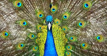 Hình ảnh chim công đẹp nhất full HD