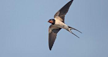 Hình ảnh chim én đẹp nhất thế giới