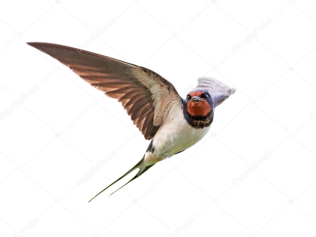 Tải ảnh chim én về máy tính