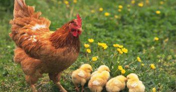 Hình ảnh gà mẹ và gà con
