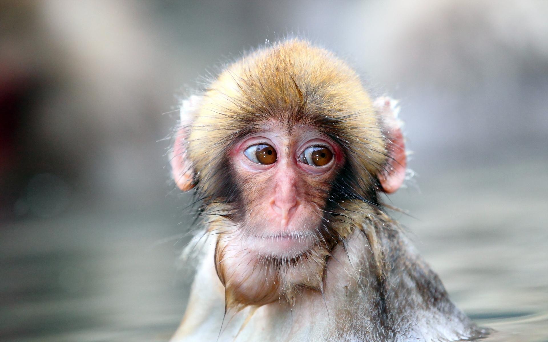 hình nền con khỉ kute