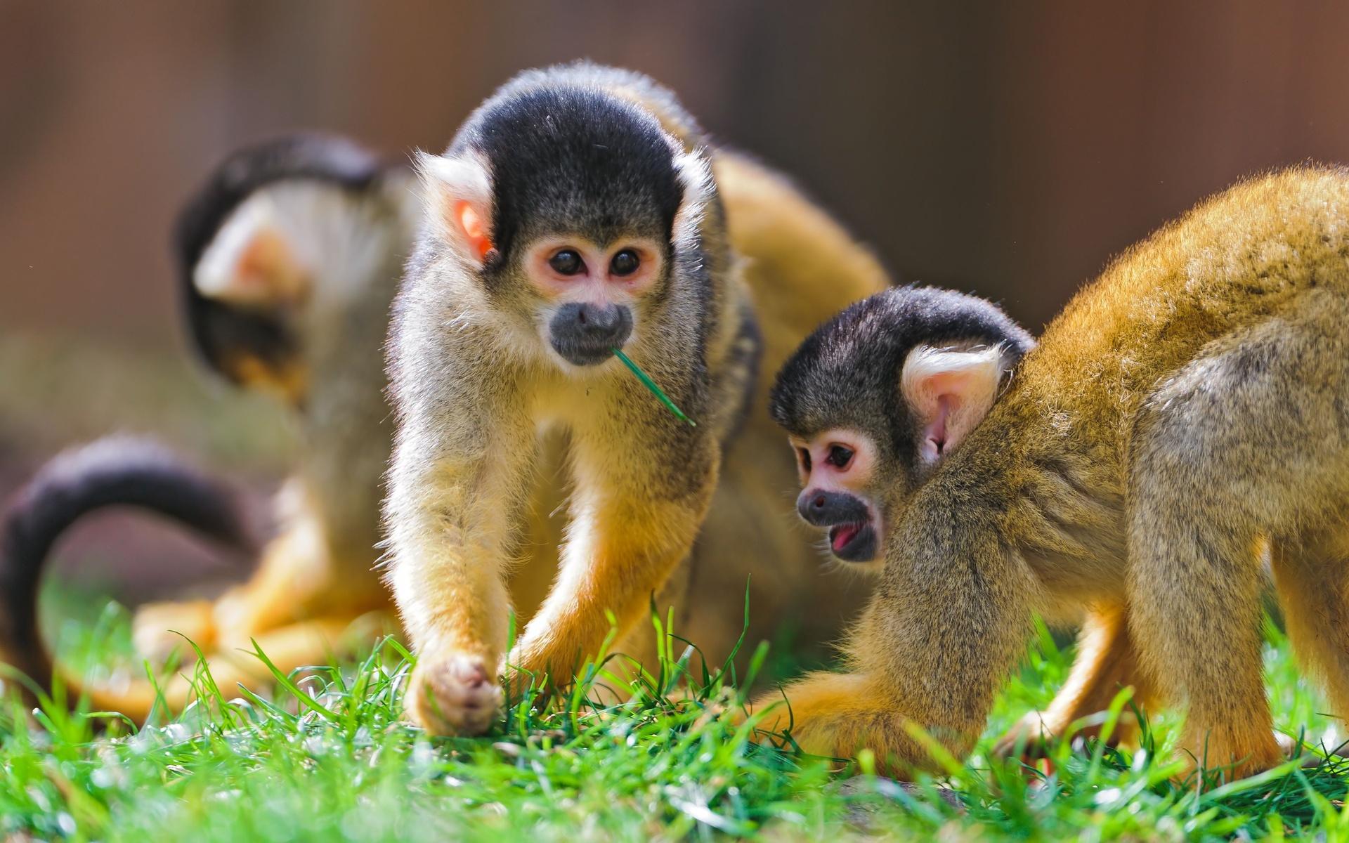 hình nền monkey kute