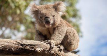 Hình nền gấu Koala