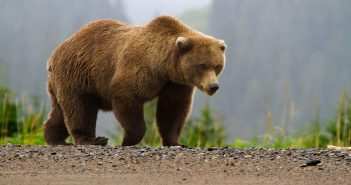 Hình ảnh gấu Bear đẹp